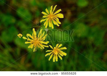 Flowers Crepis Wet Marsh In Water Drops After Summer Rain