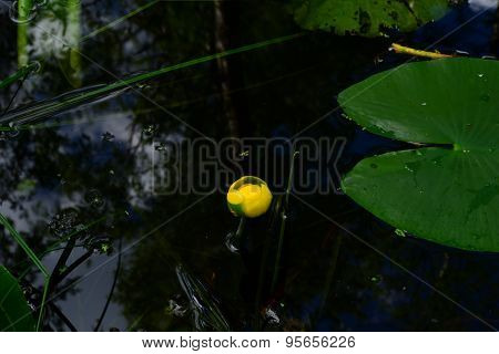 Drops Of Water On Bud Yellow Water Lilies In A Blue Water Surface Forest River