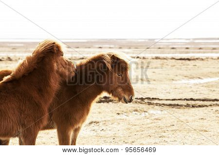Portrait Of Two Brown Icelandic Ponies