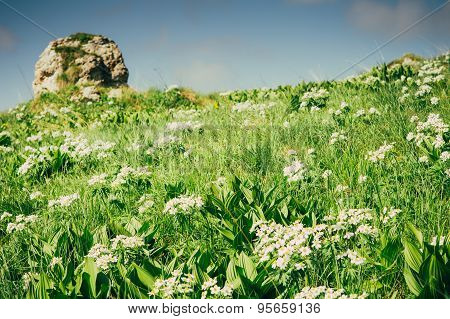 Green Mountain valley with white rhododendron flowers