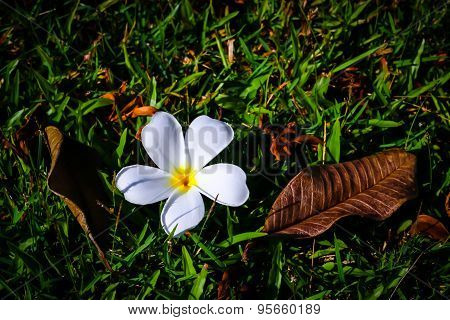 Plumeria On Grass