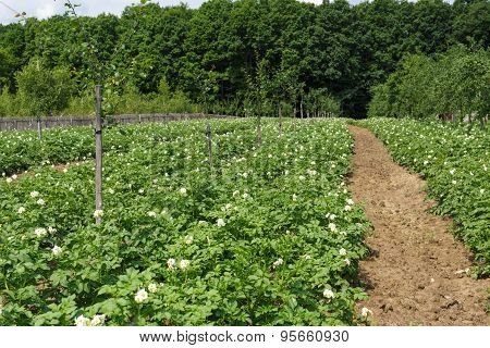 Potatoes Field On Summer