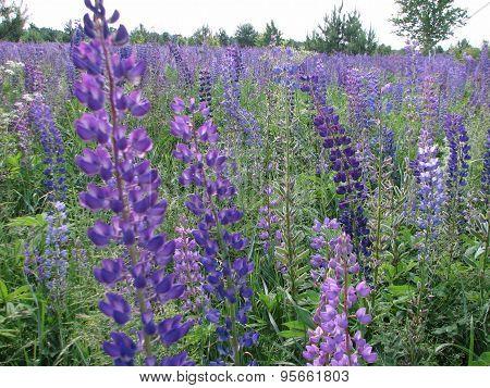 purple lupines