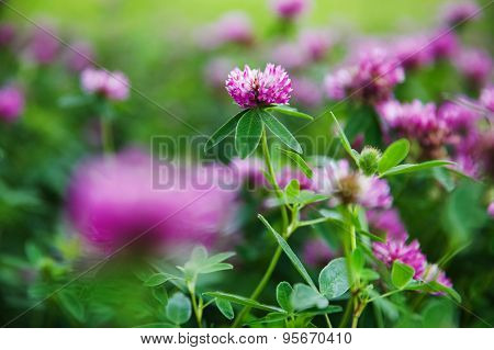 Field Of Fresh Summer Flowering Clover