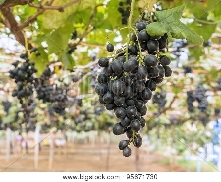 Bunch Of Black Grape In The Vineyard
