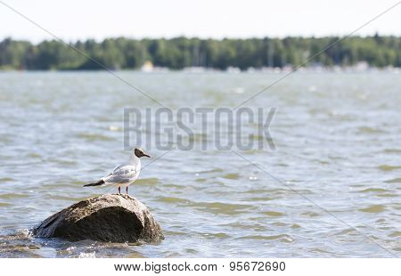 Seagull Stands On A Rock In Water