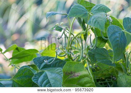 Young Bean Growing In Ecological Garden