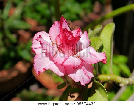 azalea flower co lour red and white so cute