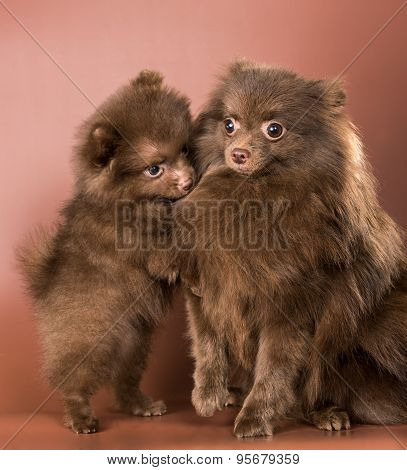 The German Spitz-dog With A Puppy