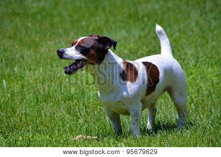 Jack Russell Terrier in Yard