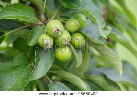 Ripening Apples On Tree