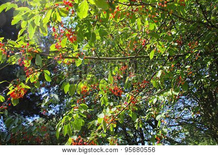 Wild Cherries On A Tree