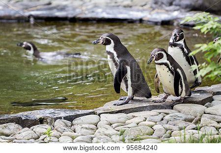 penguins walk
