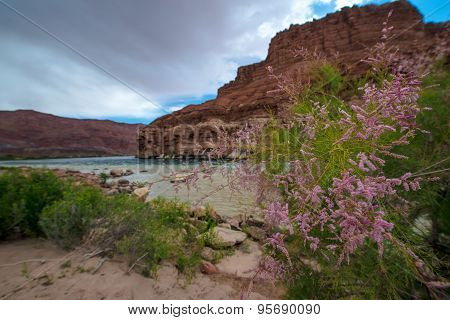 Wild Flowers Colorado River At Lees Ferry Arizona Landscape