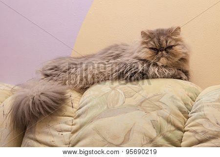 Young graypersian cat