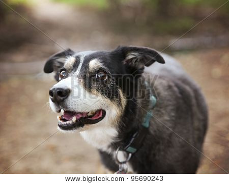 a australian shepherd dog out in nature looking at a ball to be thrown