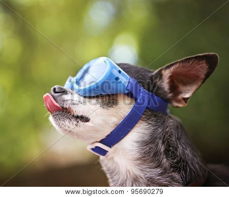 a cute chihuahua wearing goggles and sitting outside during summer time licking his nose (VERY SHALLOW DOF on the tip of the nose)