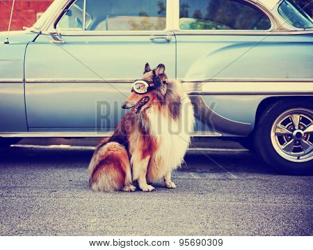 a collie posing for the camera in front of a classic car during a hot summer day with goggles on of a classic car toned with a retro vintage instagram filter action effect app