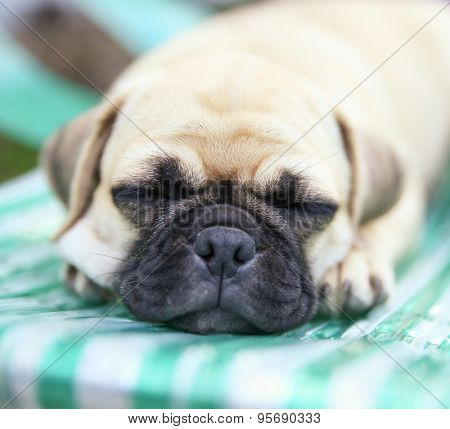 a cute chihuahua pug mix puppy (chug) sleeping on a pool chair in a backyard during summer