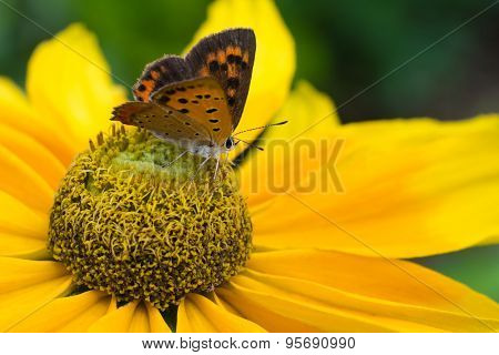 Black Eyed Susan With Butterfly
