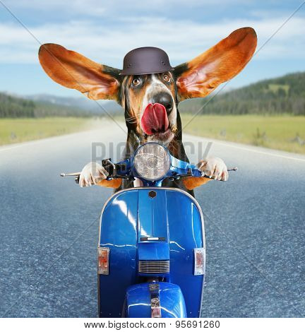 a basset hound riding on a scooter with his ears flapping and his tongue licking his nose on a highway background
