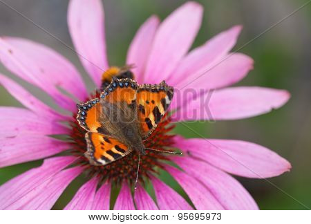 Small Tortoiseshell And A Bee