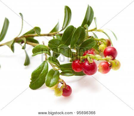 Vaccinium Vitis-idaea,lingonberry
