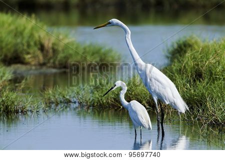 Great Egret And Little Egret In Potuvil, Sri Lanka.