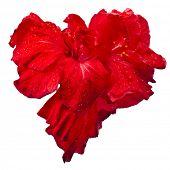image of rose bud  - Hibiscus Chinese Rose flower bud heart  isolated on white - JPG