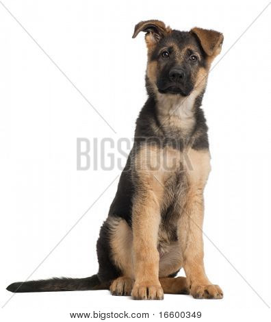 Cachorro de Pastor Alemán, 3 meses de edad, sentado frente a fondo blanco