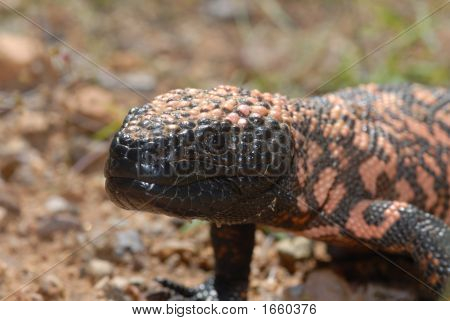 Gila Monster Up Close And Personal