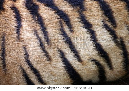 Close-up of the distinct stripes of a tiger