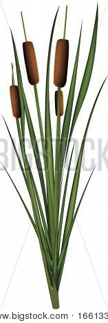 Illustration of isolated bullrush reeds (high resolution)