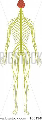 Illustration of an isolated human nervous system