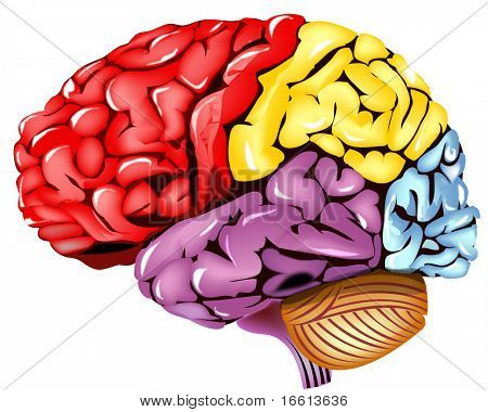 human brain illustration with colored segments included