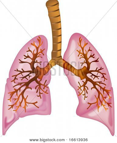 human lungs high detailed illustration