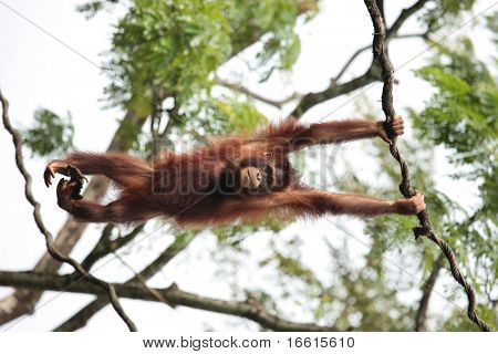 Pongo species - orangutan hanging from tree