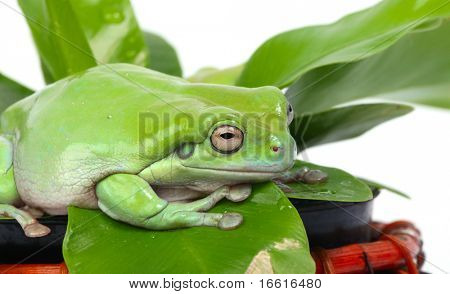 a green frog on the leaf of a potplant