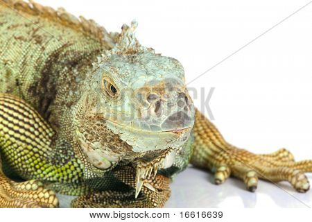 close up shot of an iguana