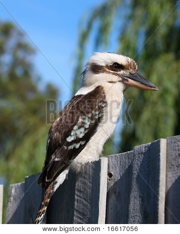 a photo of a kookaburra sitting on a fence
