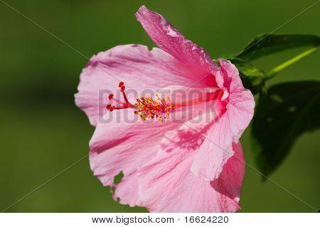 Una flor de hibisco Rosa sobre fondo verde