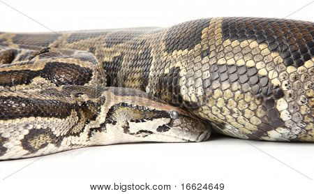 a photo of anaconda on white background