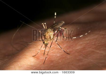 No Me Moleste Mosquito