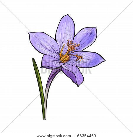 Delicate Single Crocus Spring Flower With Stem And Leaf Sketch Style Vector Illustration Isolated On