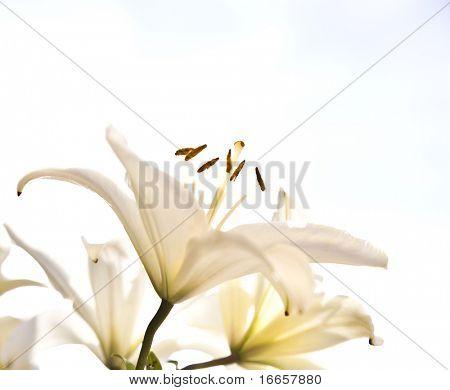 White Lilia Under The Cloudscape