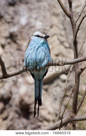 Light blue bird