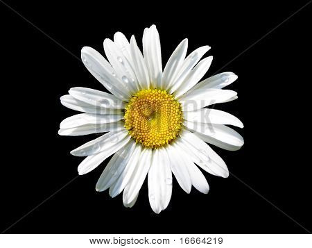 Lovely isolated daisy, with a shining heart