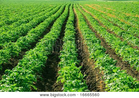 Rows of potato bushes. Prospect.