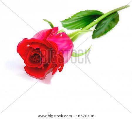 Vector realistic red rose isolated on white background. Eps10.