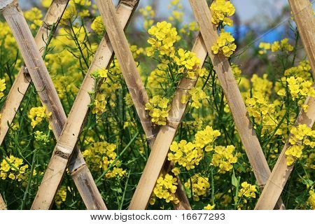 blooming rapeseed with bamboo